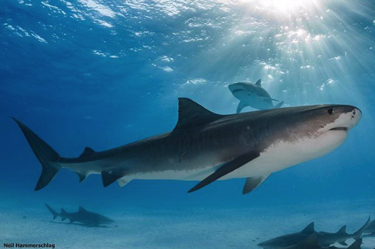 Discovering Where Tiger Sharks Give Birth