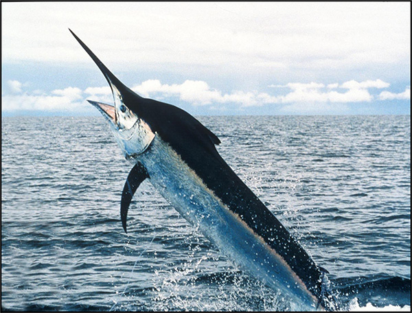 Research Project to Protect Sailfish/Billfish