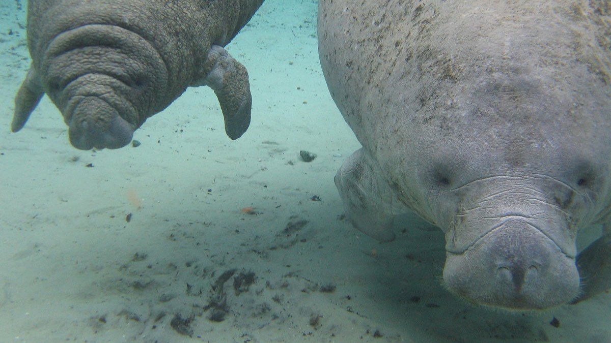 Manatees are Endangered: Challenging the FWS Proposal to Downlist Them