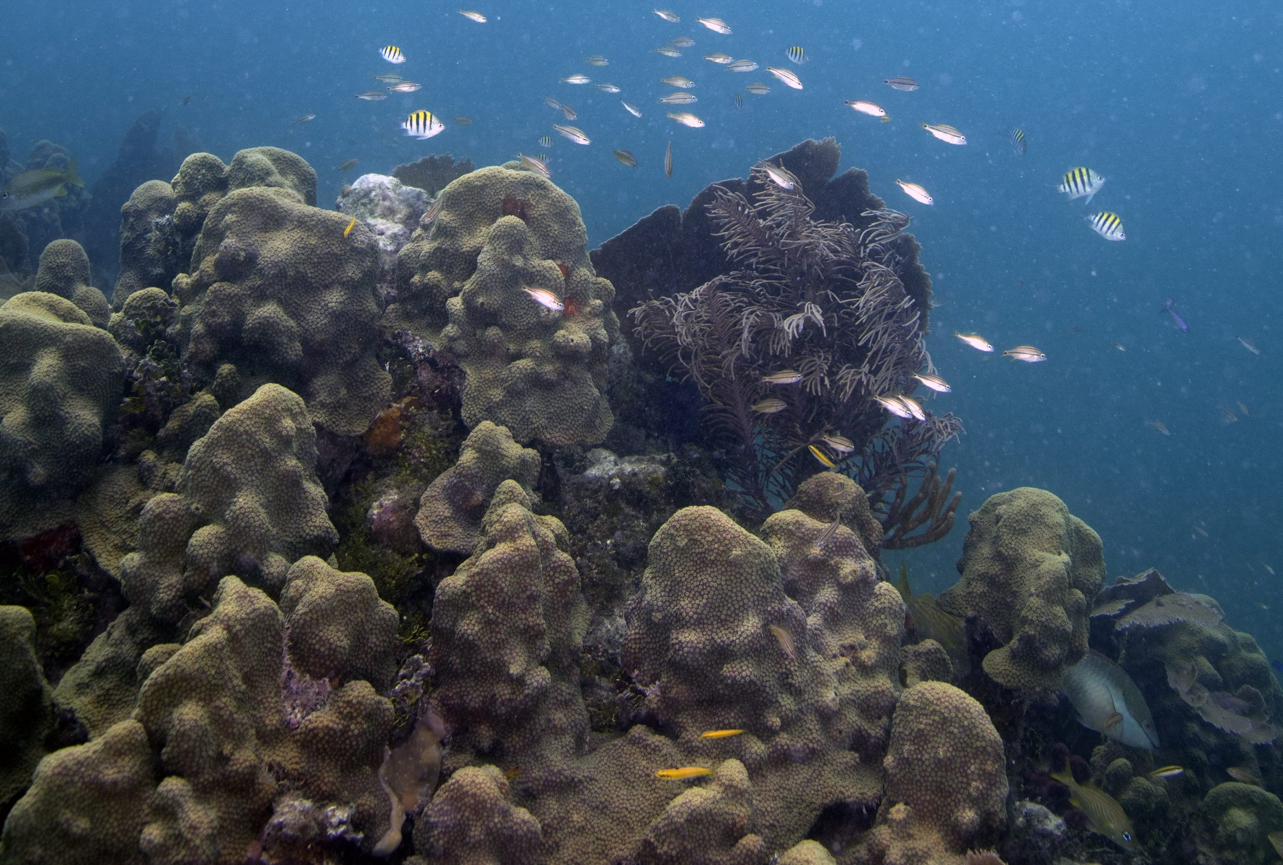 Rebuilding Coral Populations Through Reefs of Opportunity